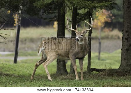 A lone male buck deer