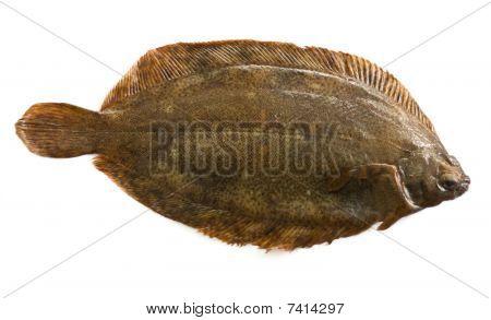 Torbay sole