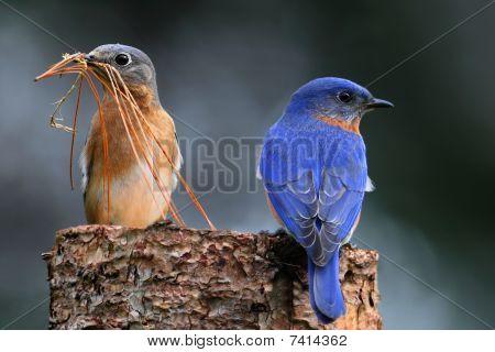 Pair Of Bluebirds