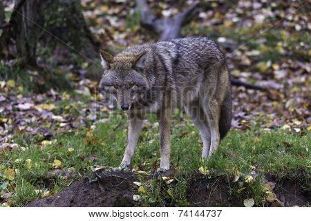 Coyotes in fall