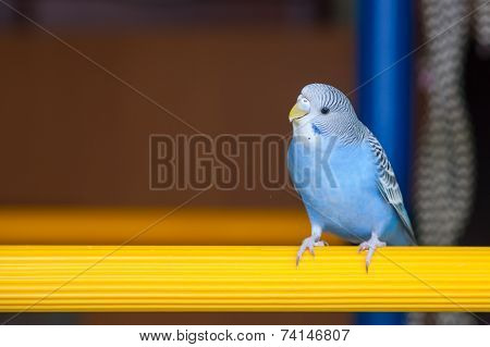 Portrait of blue budgerigar on a crossbeam