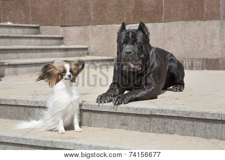 Dogs of breed of papillon and Cane corso sit on a ladder