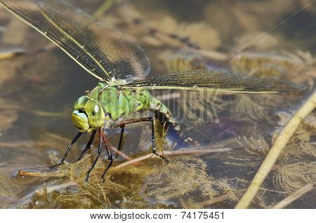 Emperor Dragonfly