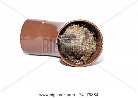 Small Forest Hedgehog, Gets Out Of The Drainpipe Isolated