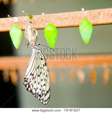 Young Butterfly Drying On Its Chrysalis
