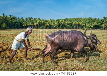 GOA, INDIA - DECEMBER 21 : Farmers plowing agricultural field in traditional way where a plow is attached to bulls on December 21, 2012 in Goa, India.