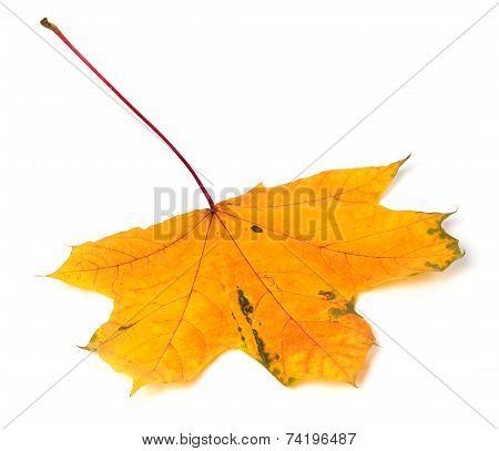 Yellow Autumn Maple-leaf On White Background