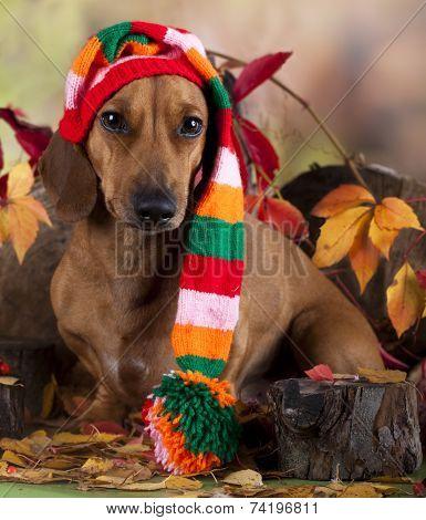 dachshund in gnome hat
