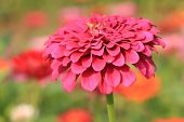 stock photo of zinnias  - Zinnia flower - JPG