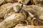 image of wallabies  - Rock Wallabies are small kangaroos that live within rocky outcrops. They are more common in the arid and tropical parts of Australia.