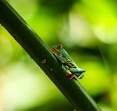 pic of orange frog  - Costa Rican Tree Frog resting on branch