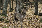 picture of bambi  - A single male elk in the woods during fall - JPG