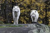 picture of horrific  - Arctic Wolf in a forested - JPG