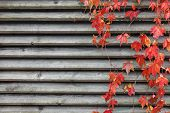 picture of creeper  - Red creeper leaves on wooden wall at autumn - JPG