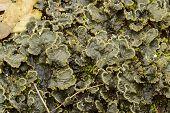 foto of lichenes  - Peltigera canina a foliose lichen with broad lobed thalli - JPG