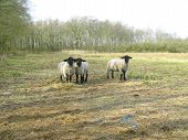 image of suffolk sheep  - Three inquisitive suffolk sheep standing on grass - JPG