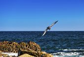 picture of cortez  - Brown pelican prepares to make a deep dive into the Sea of Cortez in Cabo San Lucas Mexico - JPG