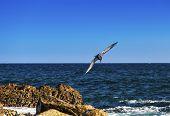 foto of cortez  - Brown pelican prepares to make a deep dive into the Sea of Cortez in Cabo San Lucas Mexico - JPG
