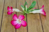 image of desert-rose  - Desert Rose flower on a wood table  - JPG