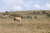 pic of eland  - Wild eland in natural habitat in Kenya - JPG