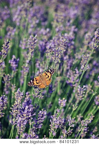 Butterfly Lavender. Vintage Retro Hipster Style Version