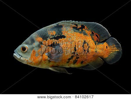 Oscar Fish Isolated Over Black