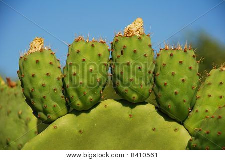 Prickly Pear Cactus, Greece