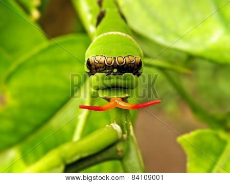 Citrus Swallowtail caterpillar