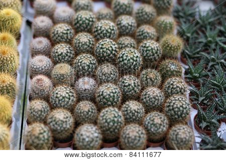 Cactus Plants Sold In Florist's Nursery