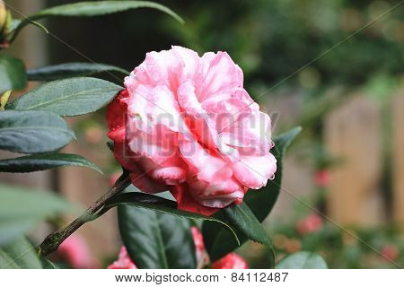 Camellia flower and raindrop