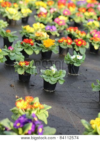 Series Of Primroses And Violets For Sale In The Greenhouse In Spring