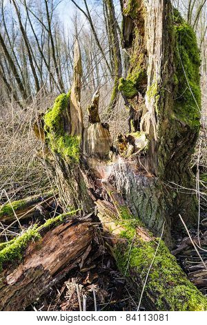 Rotten Green Mossy Tree Trunk  From Close