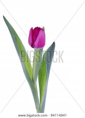 Fragile Pink Tulip