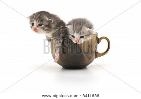 Kittens In Cup