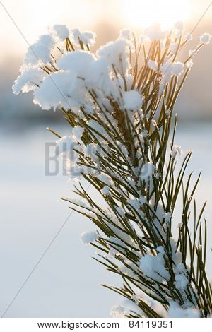 Christmas evergreen pine tree with fresh snow