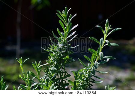 Outdoor Lavender Plant