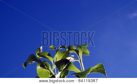 Stevia Sugar Plant Against Blue Sky
