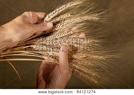 Sheaf Of Barley