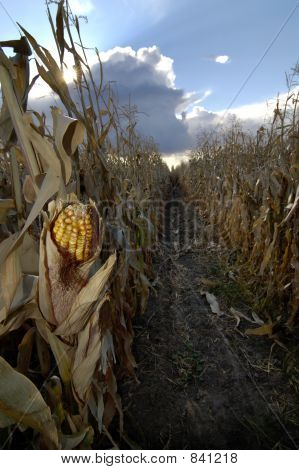 Corn in Cornfield
