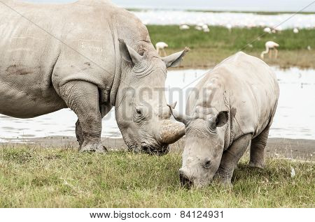 Female White Rhino With Her Young.