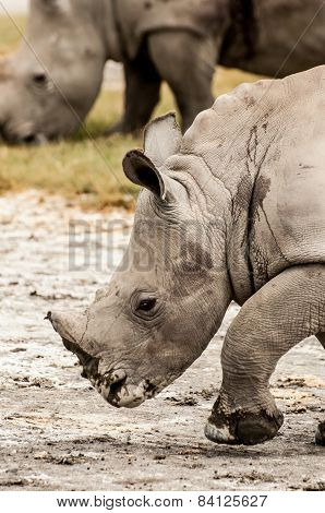 Young White Rhino Walking