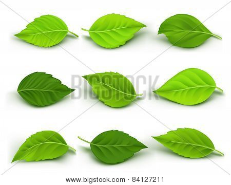 Set of Realistic Green Leaves Collection