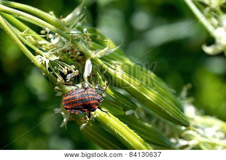 Striped Shield Bug On Flowering Plant