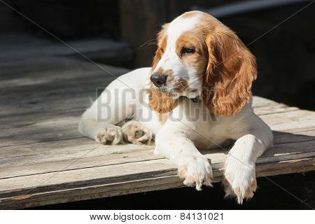 red and white puppy of spaniel relax on the porch