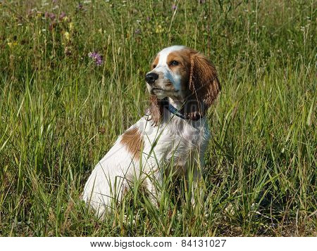 The portrait of sitting red and white puppy of spaniel