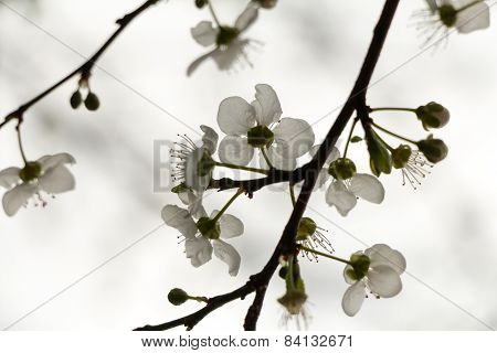 White flowers blossoming on a tree on an aged photo