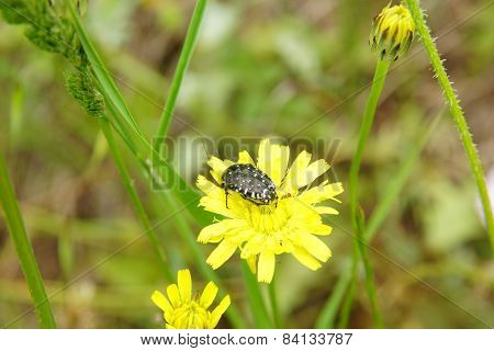 beetle on the yellow flower