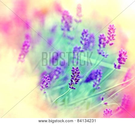 Soft focus on lavender flowers