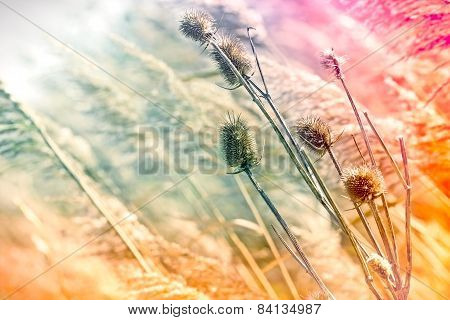 Dry thistle in high grass in autumn