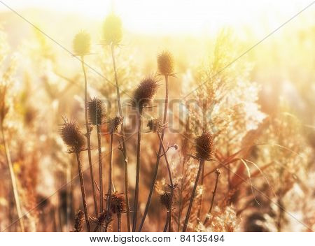 Late afternoon in the field of thistle